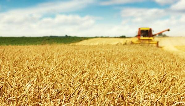 Harvester harvests rip golden wheat grains