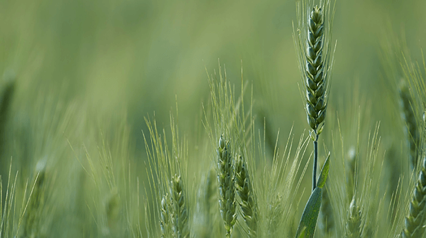 ASX Grains Focus – September 2020