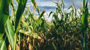 Grains, Corn, Wheat, Field, Farm