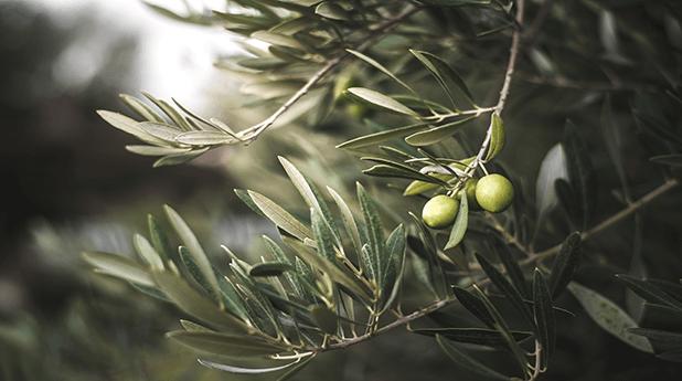 Cobram Estate Olives (CBO): First press